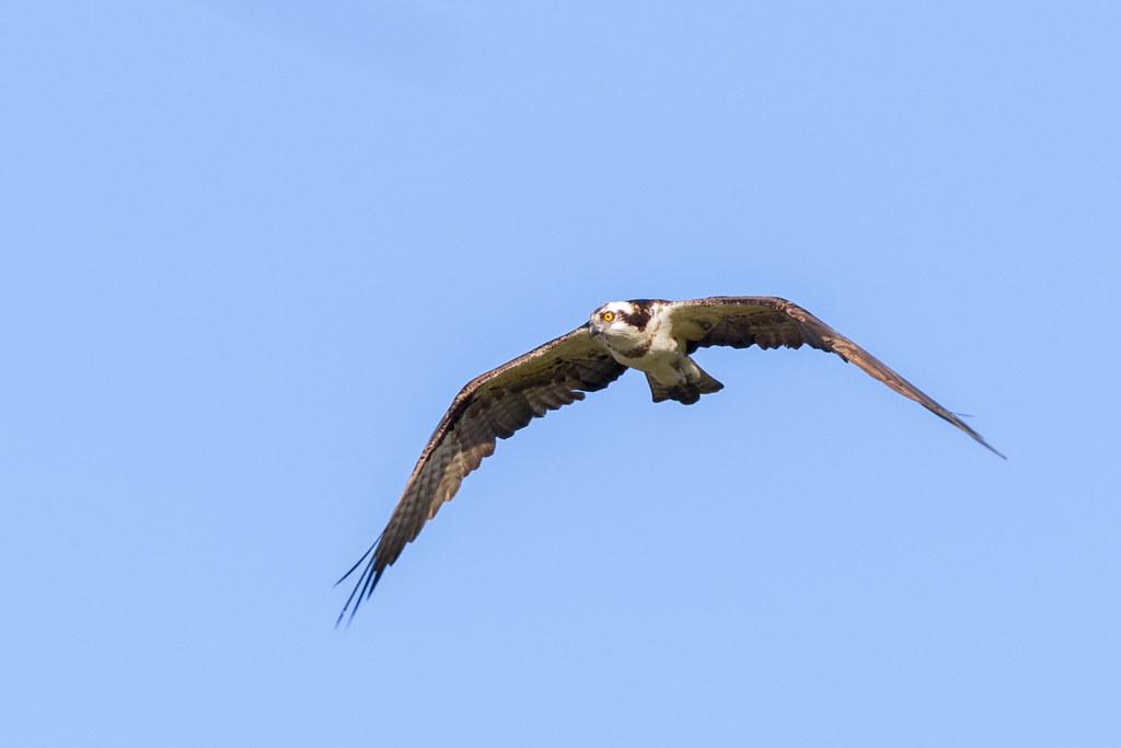 Águia Pescadora - Pandion haliaetus