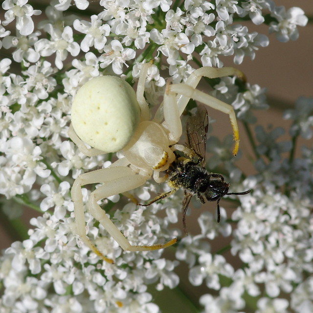 Flower Crab Spider, eating