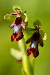 Fly orchid (Ophrys insectifera)