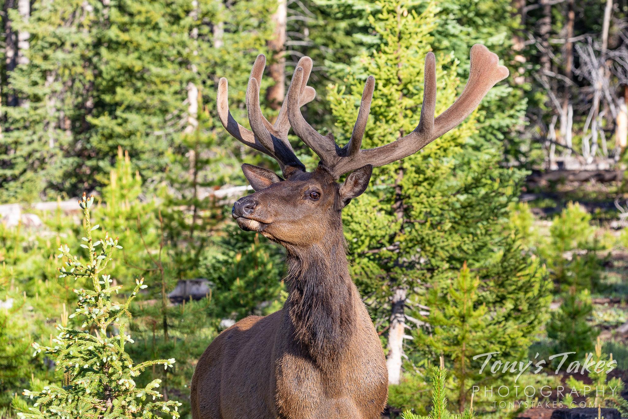 Elk bull gives the photographer the side-eye