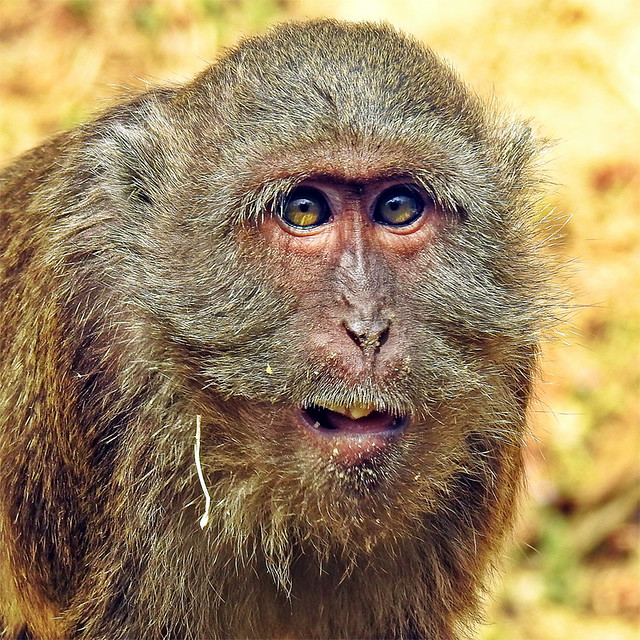 Crab-eating Macaque !!