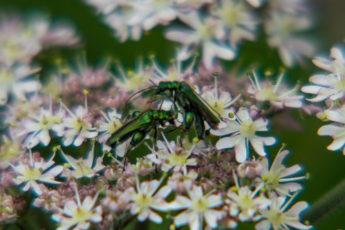 Thick-legged flower beetles, male, fighting