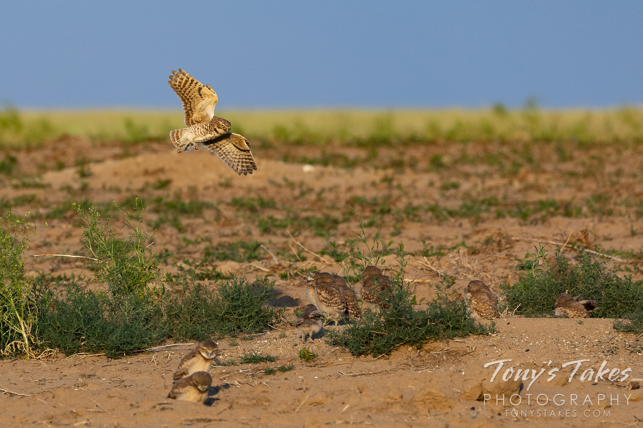 Burrowing owl returns to her nine owlets
