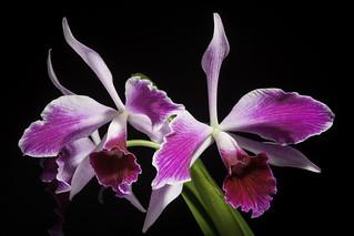 Cattleya purpurata fma. flamea 'Dr. Haetinger' (Lindl. & Paxton) Rollisson ex Lindl., Gard. Chron. 1855: 319 (1855)