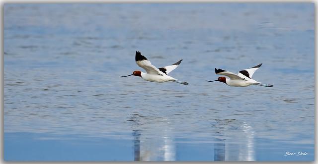 Red-necked Avocet's in flight