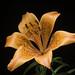 Lilium bulbiferum - Photo (c) sunoochi, μερικά δικαιώματα διατηρούνται (CC BY)