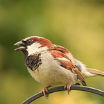Chatty House Sparrow