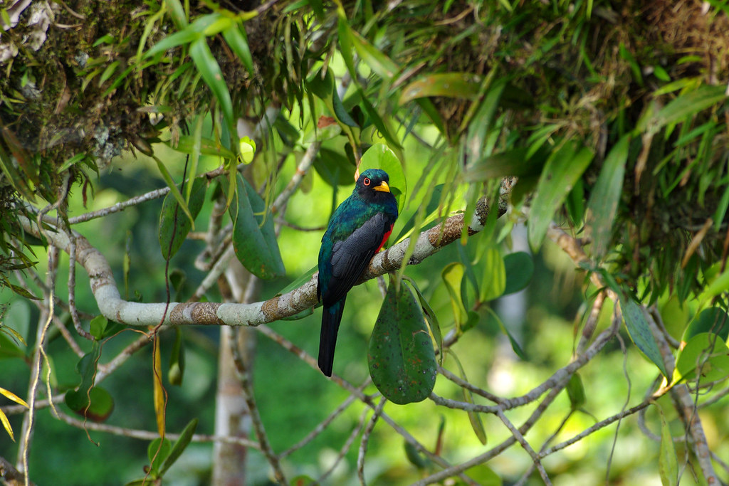 Black-tailed Trogon male (Trogon melanurus) at the tree canopy tower at Sacha Lodge by Río Napo, Ecuador.
