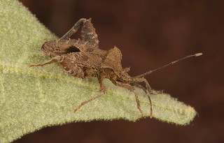 Leaf-footed Bug (Acanthocoris scaber, Coreidae)