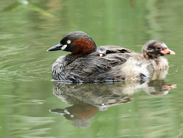 A small chick of little grebes (1)
