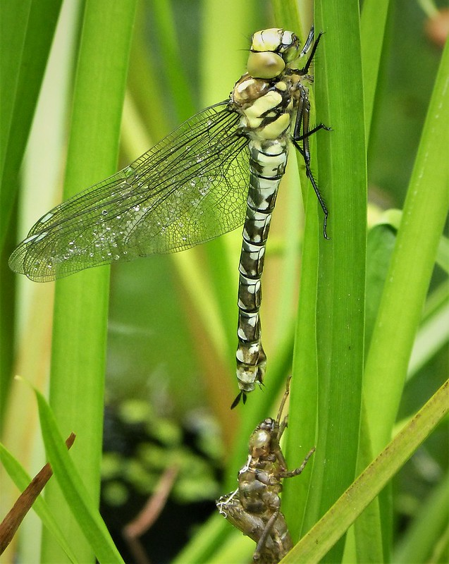 Southern Hawker emerging