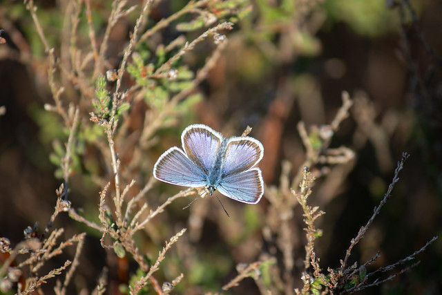 Silver-studded Blue, male
