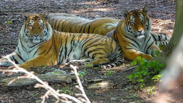 Tiger - 8576