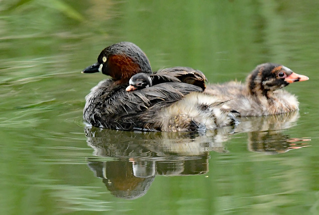A small chick of little grebes (2)
