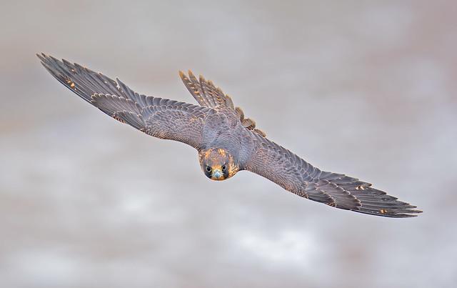 Peregrine fledge