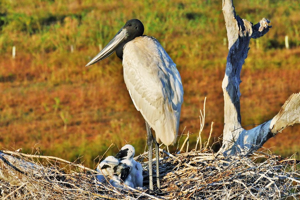 Jabiru Stork and Chicks  (Jabiru mycteria)