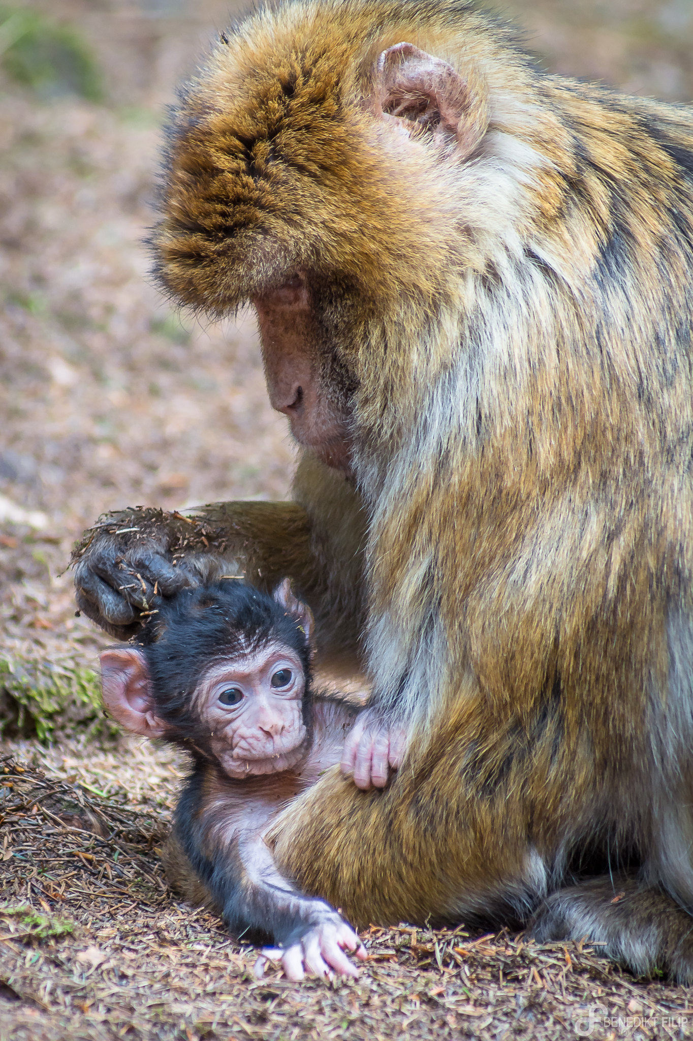 Barbary macaque baby with her mum