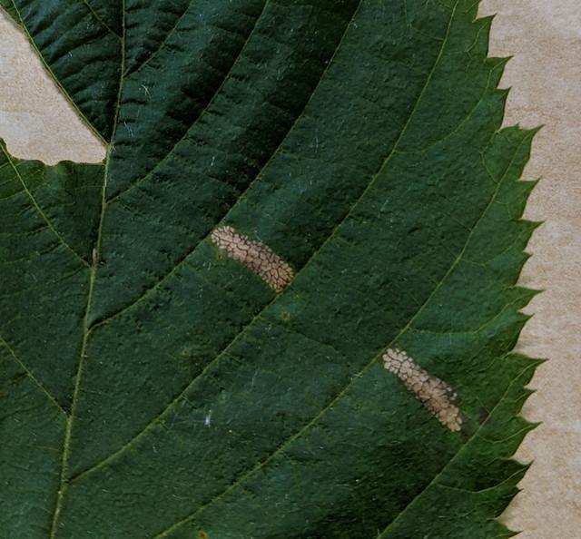 Leaf mines on Ostrya virginiana