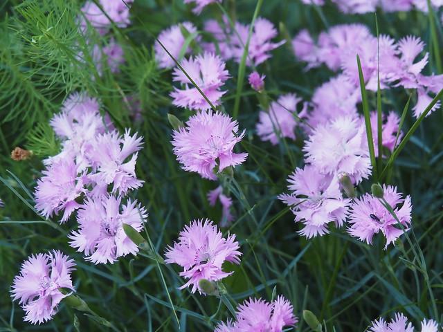 Dianthus cv.