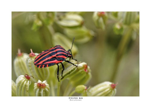 The striped bug | by zoomleeuwtje