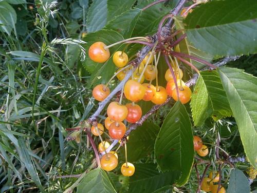 cherries June 20