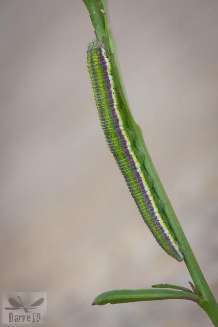 Euchloe grancanariensis
