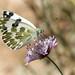 blanquiverdosa (Pontia daplidice)