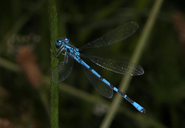 Common Blue Damsel (Enallagma cyathigerum) Explored