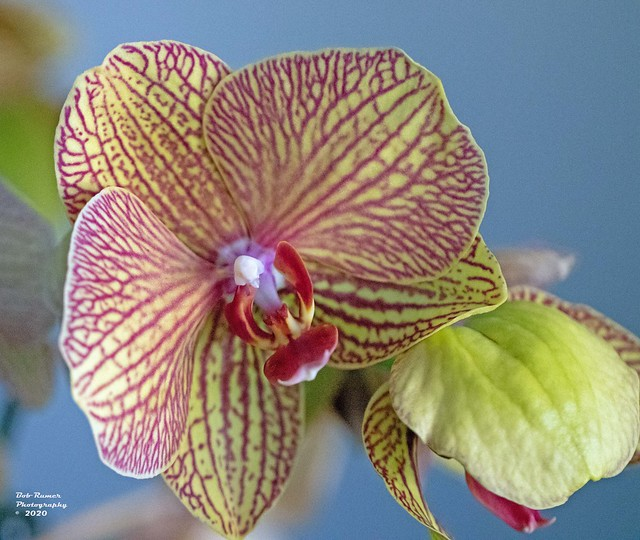 Orchid Yellow & Red