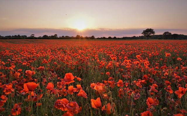 Poppy Field (explore 270620)