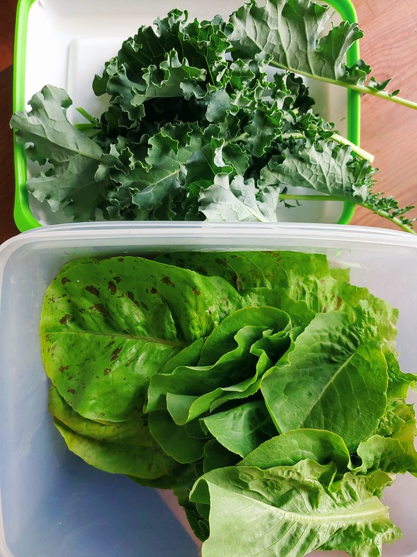 Some harvested Curly Kale, Freckles Romaine, and Butterhead Buttercrunch Lettuce