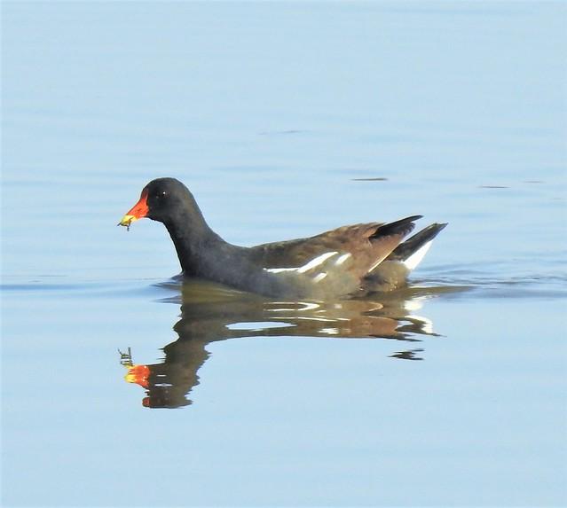 Moorhen and Reflection - Druridge Ponds