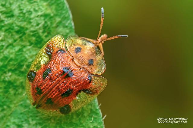 Tortoise beetle (Laccoptera nepalensis) - DSC_5063