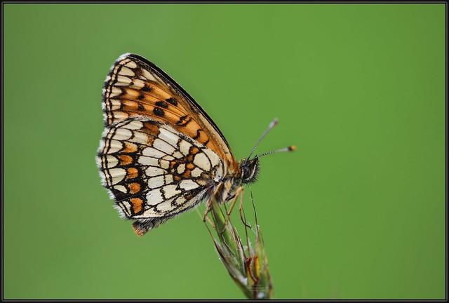 Melitaea athalia, Heath fritillary, Obična riđa,  7864 Fa, 25.VI.2020., Gornje Jelenje, Gorski Kotar