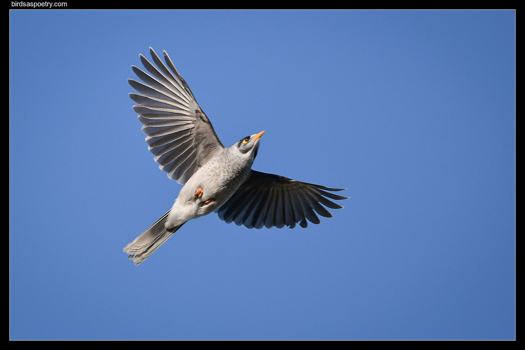 Noisy Miner: Incoming