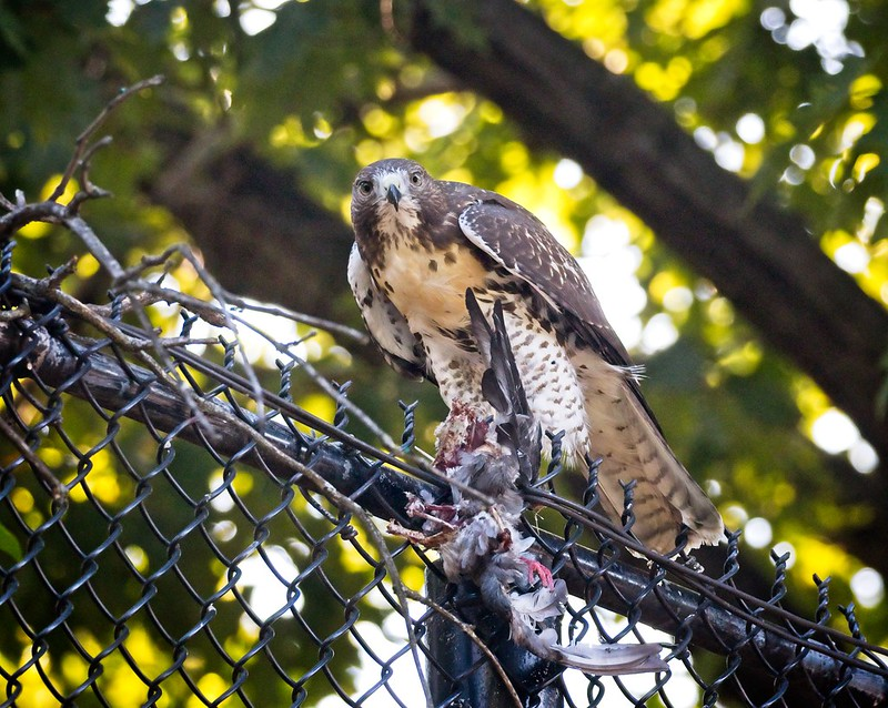 Tompkins Square red-tail fledgling with pigeon