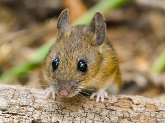 Woodmouse, Denny Wood, New Forest, Hampshire