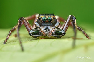 Jumping spider (Pristobaeus sp.) - DSC_4981