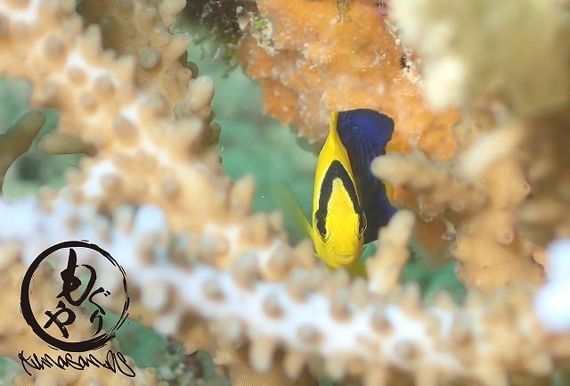 珍しく撮りやすいところでうろうろいていたソメワケヤッコ幼魚ちゃん♡