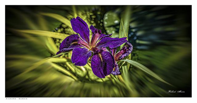 Iris by my pond.