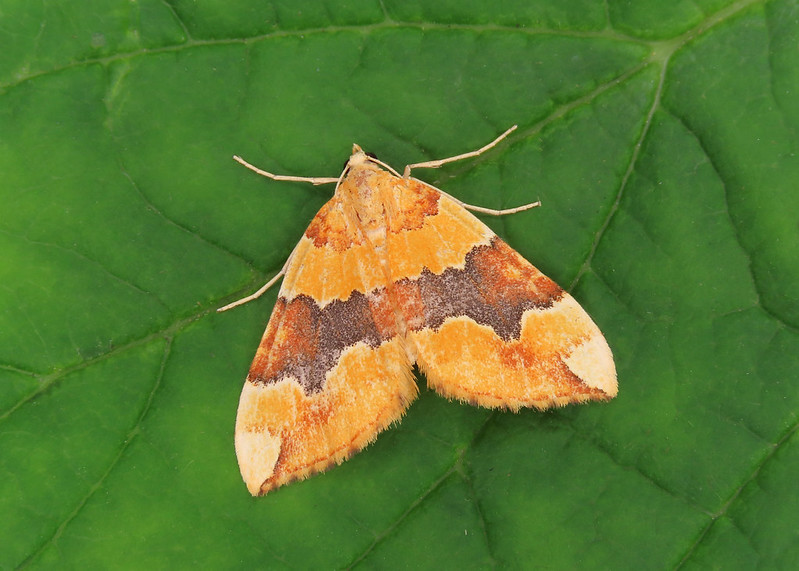 70.085 Barred Yellow - Cidaria fulvata