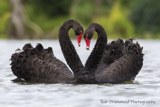 Black Swan - Drysdale, Victoria
