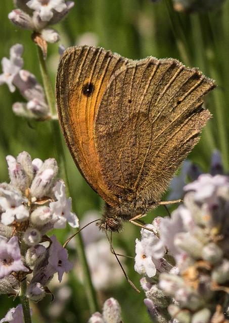 Meadow Brown Butterflly-5761.jpg