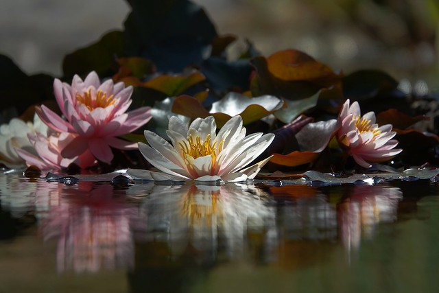 water lilies in reflection