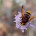 mosca de las flores (Volucella zonaria)