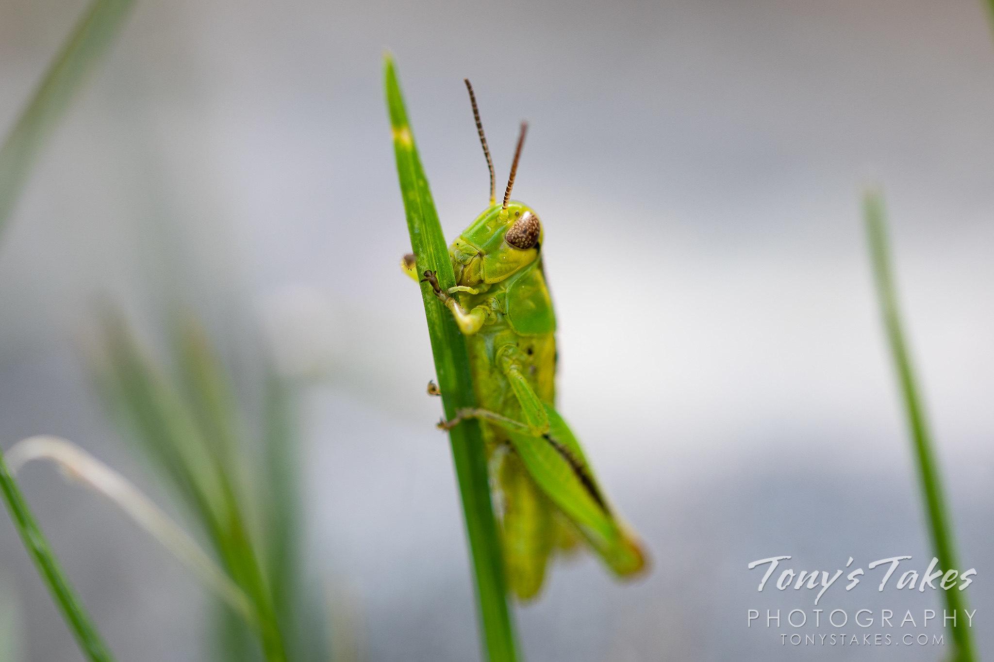 Tiny grasshopper clings to a blade of grass