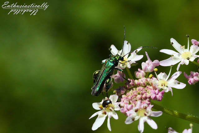 Thick-Thighed Beetle (Oedemera nobilis)
