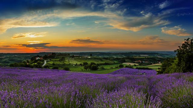 Nevena Uzurov - Lavender field