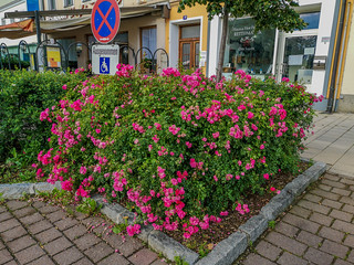 Roses at the public space. | by Lens and Shutter