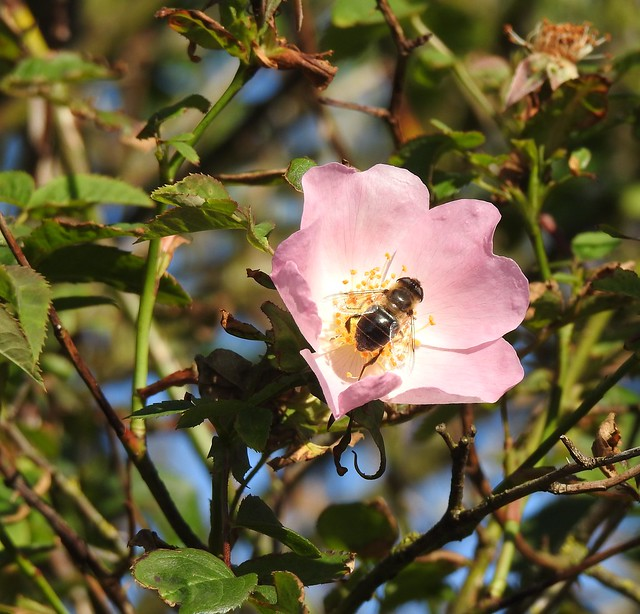 Hover Fly In Wild Rose Flower